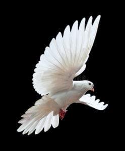 la colombe d'un amour extravagant